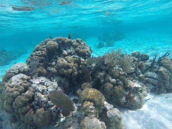 Caye Caulker, Belize: beautiful coral