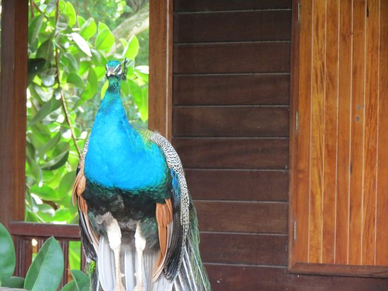Ile Royale, French Guiana: Peacock