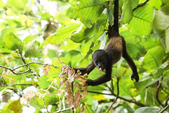 The Harmony Hotel: A baby howler monkey passing thru the Harmony gardens