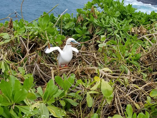 Kilauea Point National Wildlife Refuge: red footed booby gathering nesting material