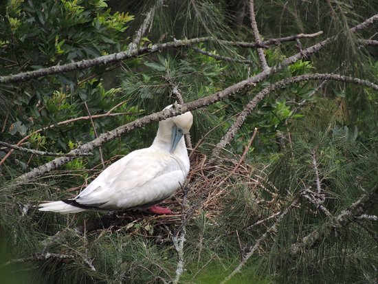 Kilauea Point National Wildlife Refuge: Nesting Booby