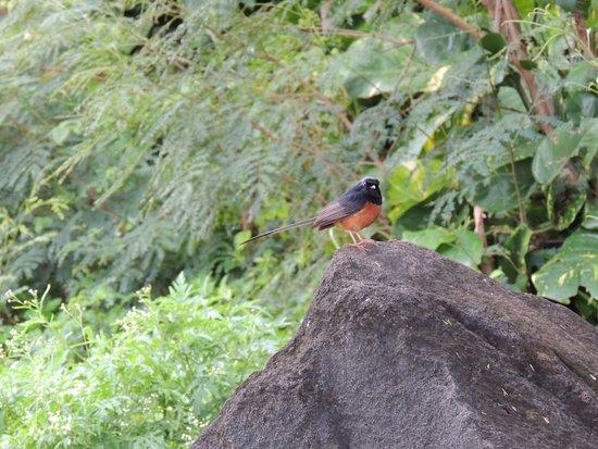 Kilauea, هاواي: unidentified bird