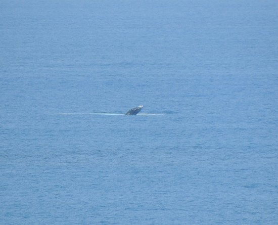 Kilauea, هاواي: Whale breaching