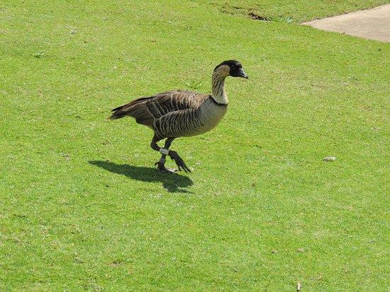Kilauea, هاواي: NaNa goose