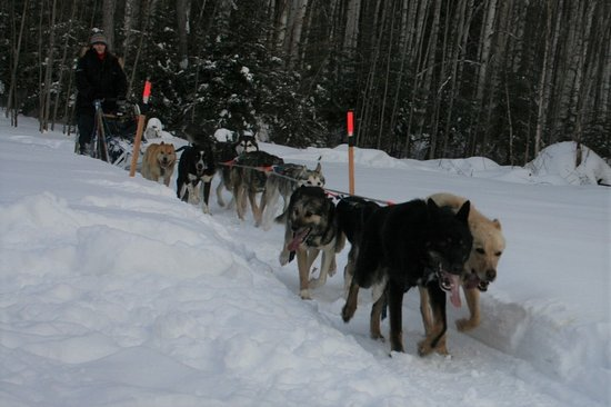 Nenana, AK: Happy huskies returning to the kennel after a 10 mile run.