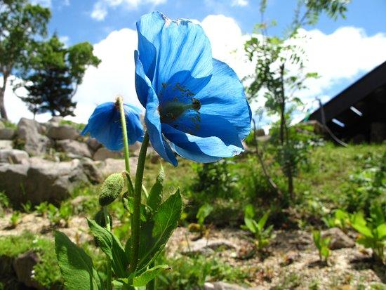 Yamanouchi-machi, اليابان: ヒマラヤの青いケシ