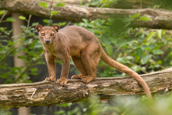 fossa picture of port lympne reserve lympne tripadvisor