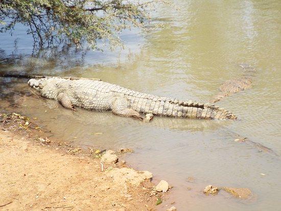 La Petite Cote, Senegal: nombreux crocodiles