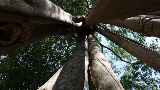 Kampong Thom Province, Καμπότζη: The towering trunks of the forest trees