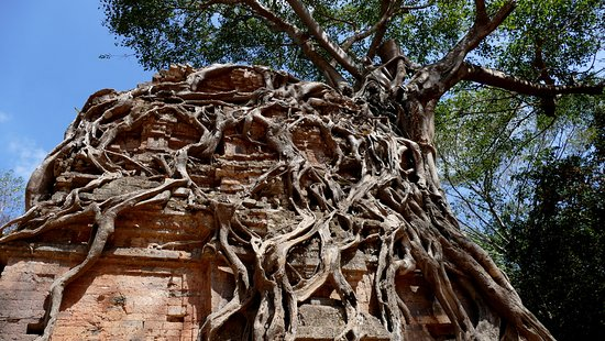 Kampong Thom Province, Kambodscha: A brick tower is devoured by a strangler fig