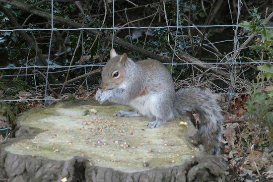 Bodnant Caravan Park: Resident Squirrel