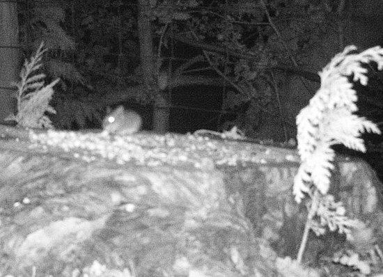 Bodnant Caravan Park: The midnight mouse!