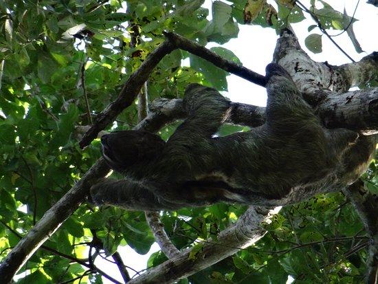 Sloth Picture Of Edwins Manuel Antonio Nature Tours Manuel