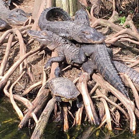 Alligator Adventure: photo0.jpg