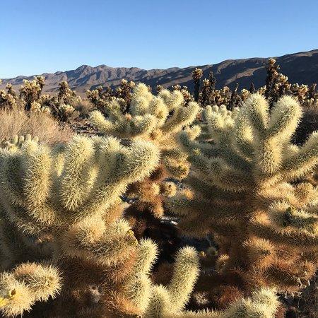 Cholla cactus garden joshua tree national park all you - Cholla cactus garden joshua tree ...