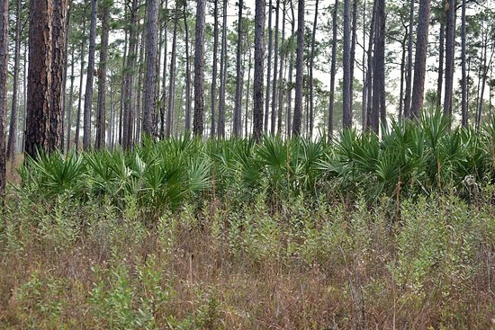 Gautier, MS: Saw Palmetto