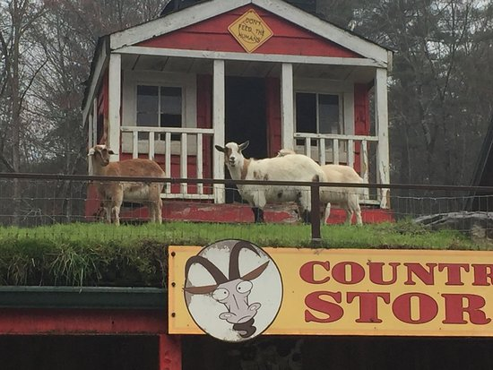 Tiger, GA: Goats.....on a roof!