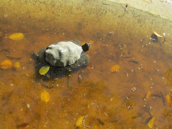 Puerto Villamil, Ecuador: Little Tortoise in the water
