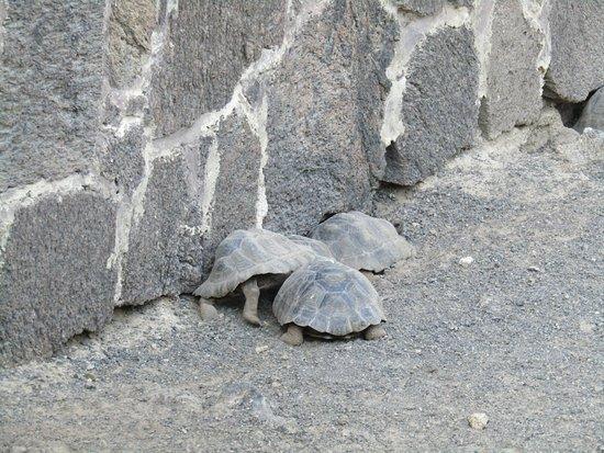 Puerto Villamil, Ecuador: little tortoises