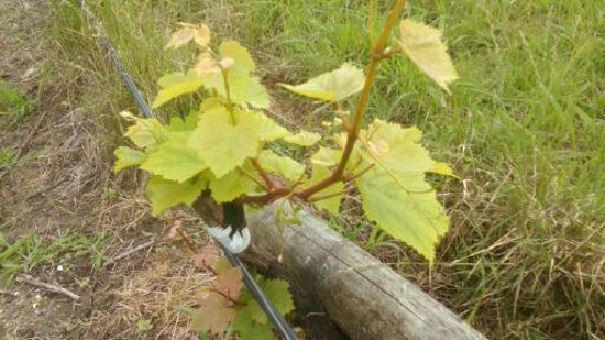 Ruby Bay, New Zealand: Young grape vine