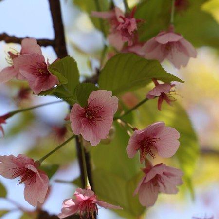 河津桜の咲く公園