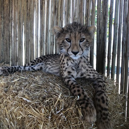 Cheetah Outreach - Somerset West