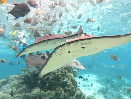 "Maharepa, Fransk Polynesia: Swim with stingrays, sharks and  a ton of fishes  is  possible with the ""Lagoonarium tour"""