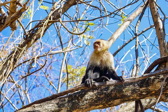Provincia de Puntarenas, Costa Rica: white-faced monkey at the 10 in 1 Puntarenas highlights