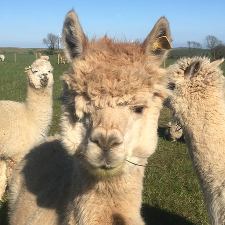 Файф, UK: Bowbridge Alpacas Scotland