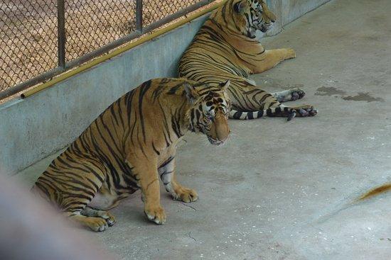 video tiger meet 20110