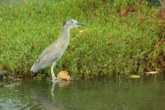 Honaunau, HI: Night heron in park pool