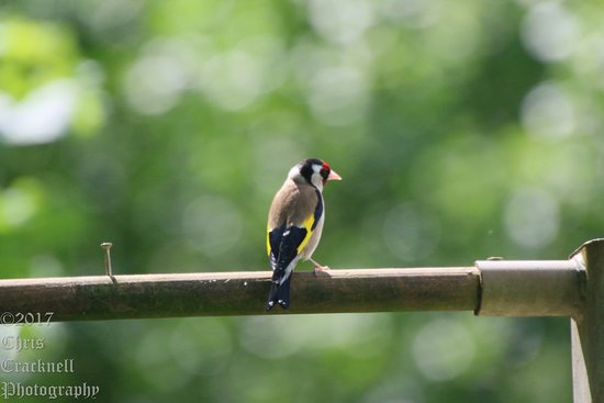 Earls Colne, UK: Goldfinch