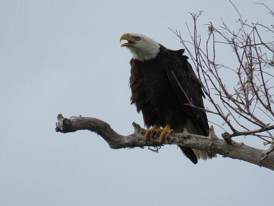 Copeland, FL: Male Bald Eagle at Fakahatchee Boardwalk