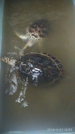 Ujung Genteng Turtle Conservation