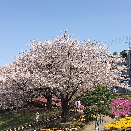 "Zama, Nhật Bản: April 1st 2018, there is a cherry festival. You may have some nicer viewing with ""Sakura""."