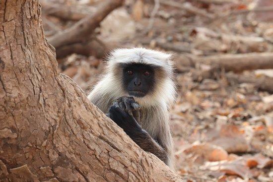 Gir National Park and Wildlife Sanctuary: Langaur