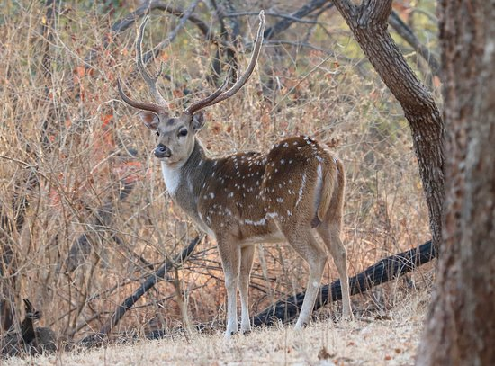 Gir National Park and Wildlife Sanctuary: Spotted Deer