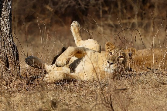 Gir National Park and Wildlife Sanctuary: Young male lion