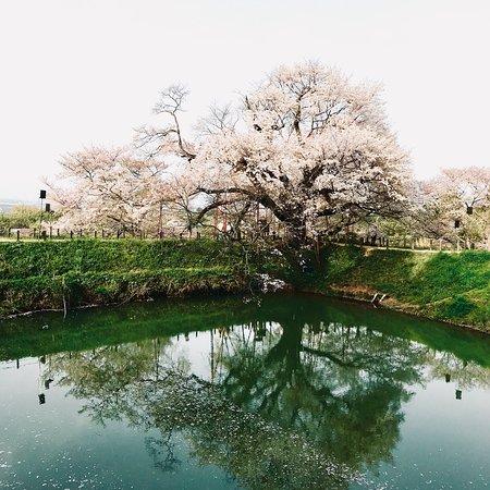 昼間の浅井の一本桜