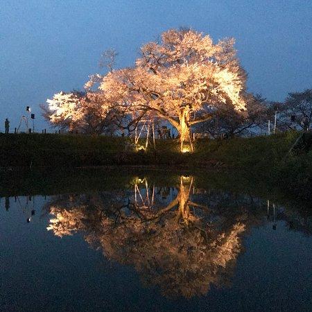 ライトアップされた浅井の一本桜
