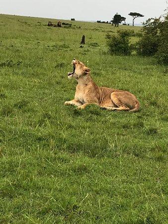 Fairmont Mara Safari Club: Mama lion