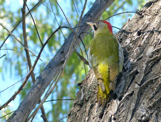 Top Ourika: Levaillants woodpecker at the hotel.
