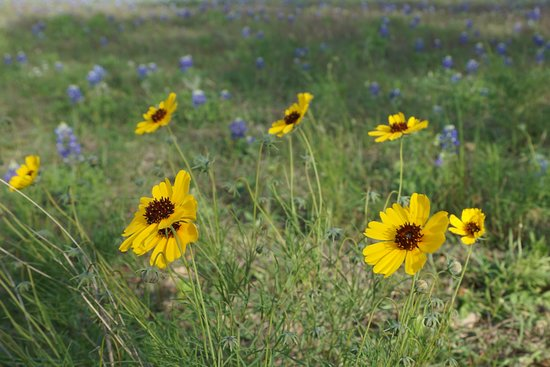 Independence, Teksas: Wildflowers at Old Baylor
