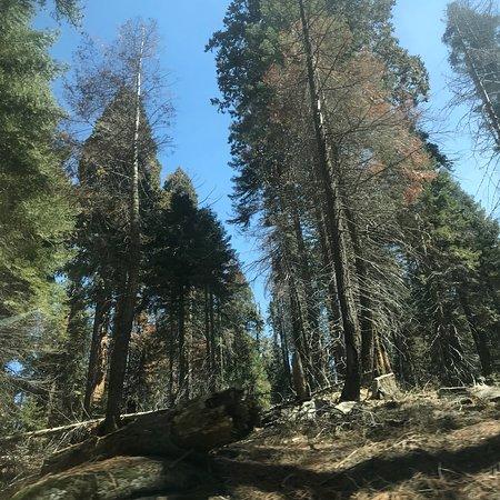 Giant Forest – fénykép