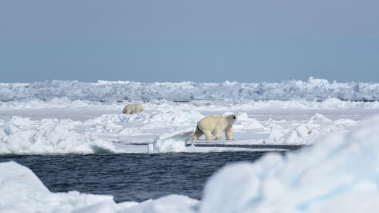 Baffin Island: polar bears by the floe edge
