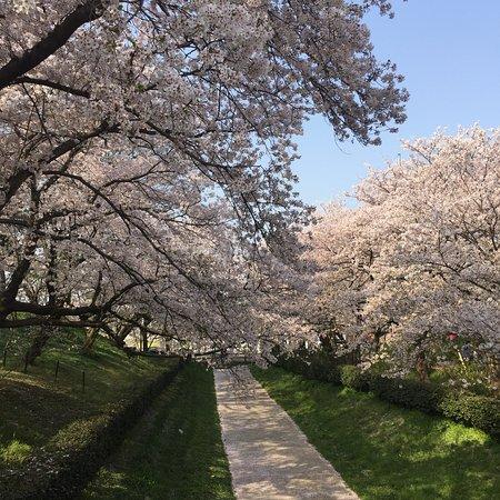 Gongendo Sakura Tsutsumi – fénykép