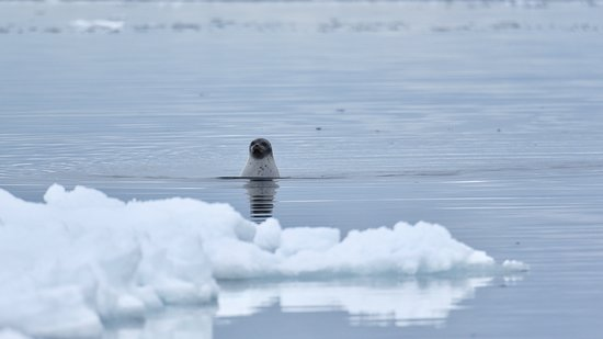 Baffin Island: Good, you are not polar bears!  This curious ring seal kept checking us out