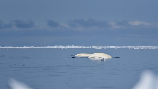 Baffin Island: belugas came as well