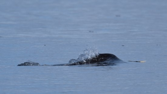 Baffin Island: this baby narwhal was actively showing off his cut little tusk