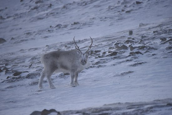Longyearbyen, Noruega: Reindeer During hiking